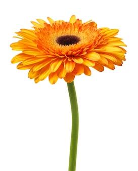 Цветок герберы ромашки на белом