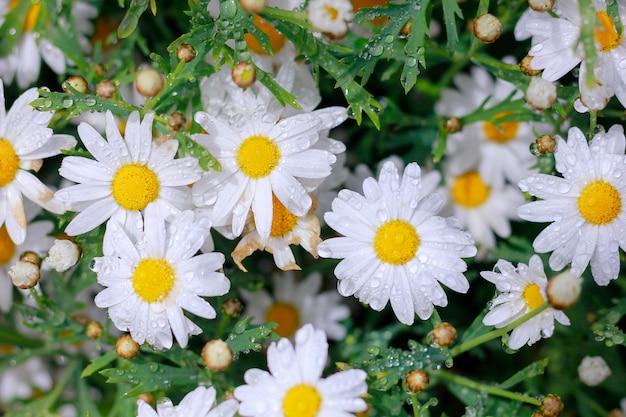 Daisy is a flower in the rain