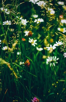 Daisy meadow in summer green grass and blooming flowers chamomile field as spring nature and floral ...