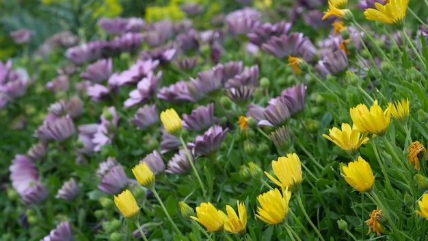 Яркие цветы маргаритки или маргаритки, калифорния, сша. астра или бархатцы накидки разноцветные пурпурно-лиловым налетом. домашнее озеленение, американское декоративное декоративное комнатное растение, естественная ботаническая атмосфера