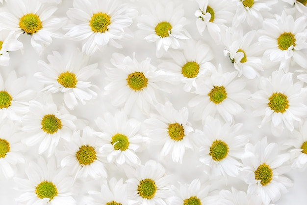 Daisy pattern. flat lay spring and summer flowers. flat lay. dense texture