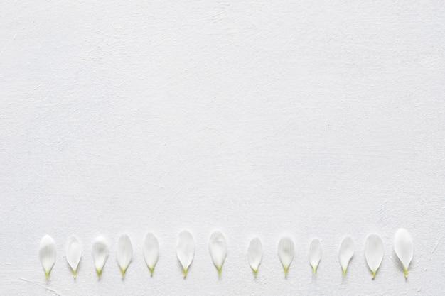 デイジーの花びらが白い背景に並んでいます。