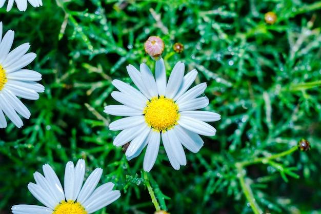 花びらに雨滴とデイジーが背景を閉じる