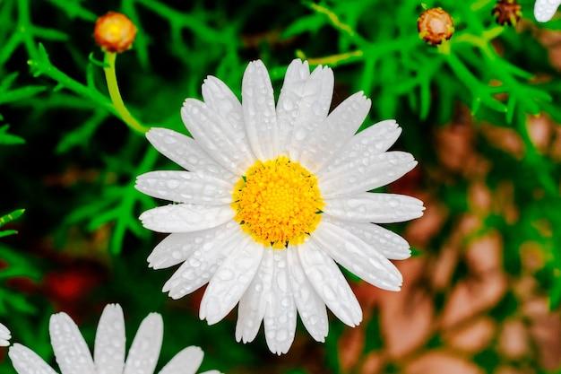 花びらに雨滴のデイジーがクローズアップ