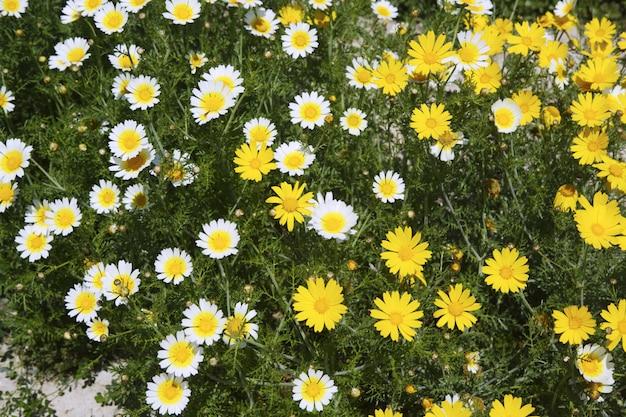 Маргаритка желтые и белые цветы в саду