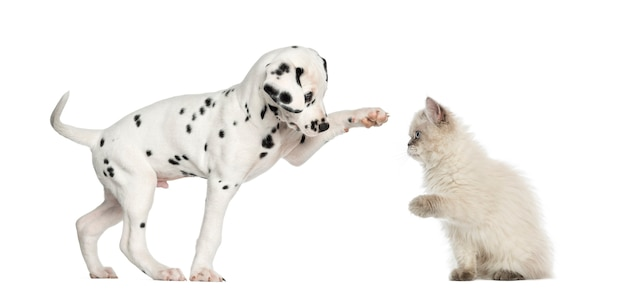 Dalmatan puppy and kitten high-fiving