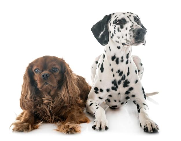 Dalmatian and cavalier king charles