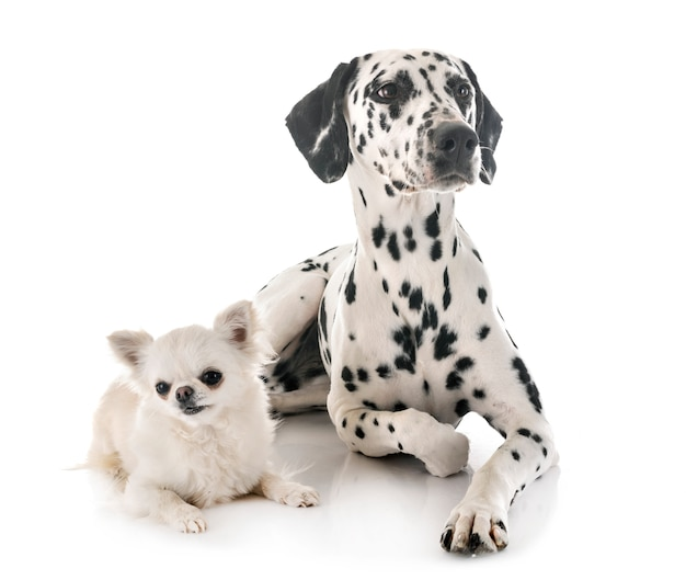 Dalmatian and chihuahua