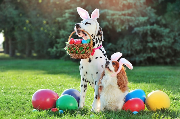 Dalmatian dog  holding basket with easter eggs in mouth