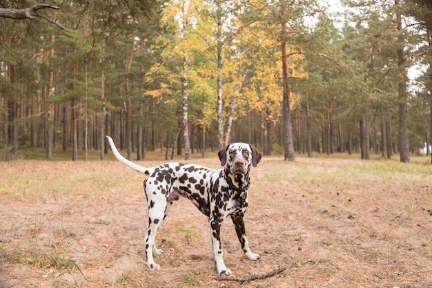 Далматинская собака на прогулке в лесу
