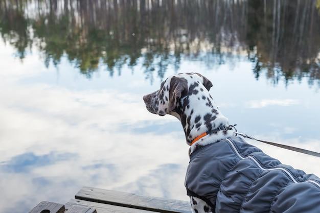 Далматинская собака, стоящая у озера. собака носит теплую одежду. породы больших собак. щенок в пальто на