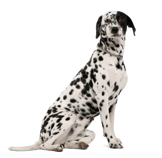 Далматинская собака с 18 месяцев. портрет собаки изолированный