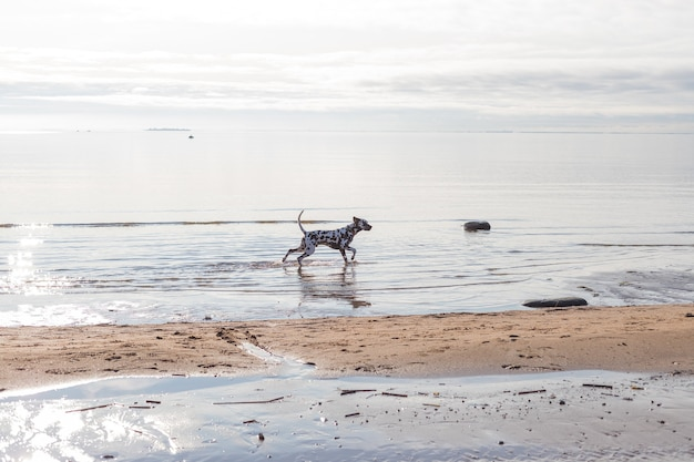 The dalmatian is a breed of large-sized dog running on beach ,water splashes. brown dalmatian puppy on the beach.a purposeful spotted dalmatian running through the water scattering spray