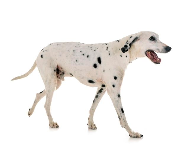 Dalmatian isolated