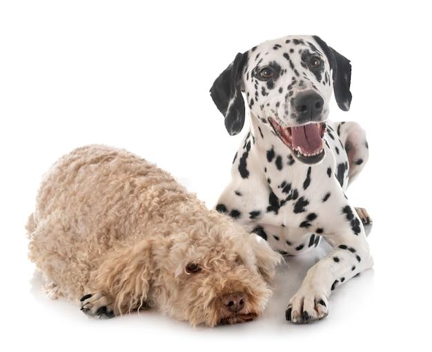 Dalmatian and lagotto romagnolo