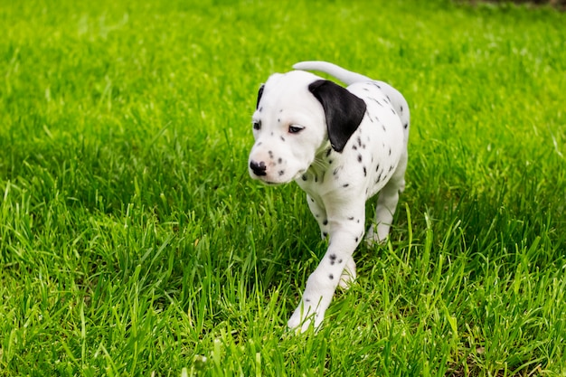 Dalmatian puppy dog playing outdoors in summer