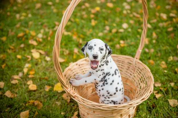 Dalmatian puppy sitting in basket on grass