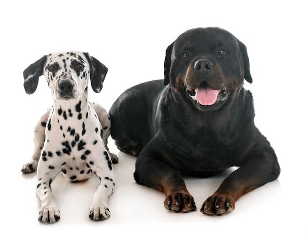 Dalmatian and rottweiler