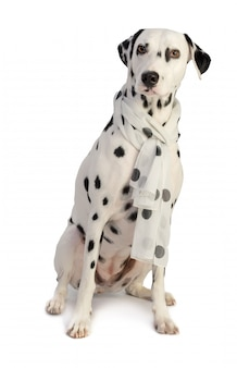 Dalmatian seated with scarf