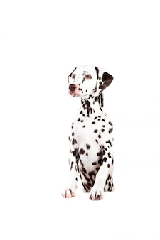 Dalmatian sitting, looking aside, isolated on white