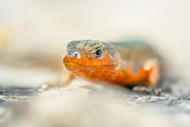 바위에 앉아 달마 시안 벽 도마뱀 (podarcis melisellensis)