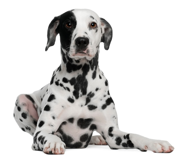 Dalmatian with 2 years old. dog portrait isolated