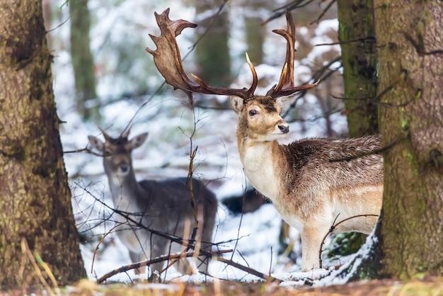 Dama dama ланей с большими рогами, глядя на камеру в зимнем лесу за деревом