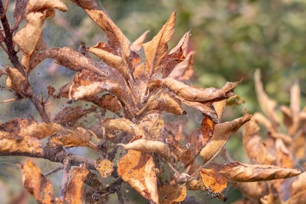 나비 애벌레가 나무에 마른 잎에 피해를 입힙니다. 마른 잎과 거미줄 나뭇가지로 덮여