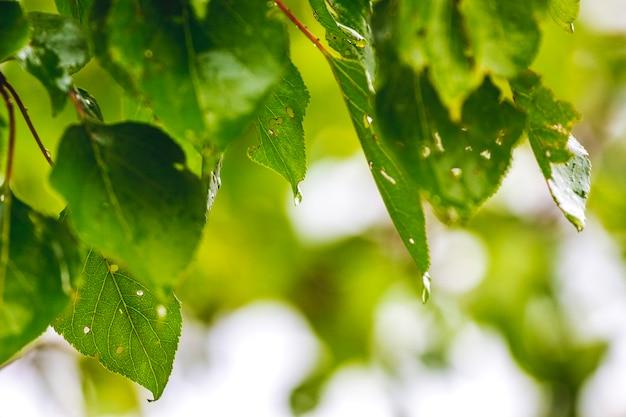 木の枝の損傷した葉。植物病害 Premium写真