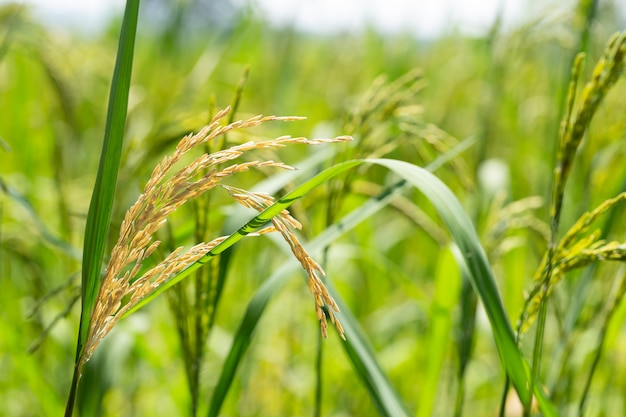 Damaged rice grains
