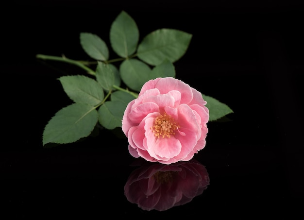 Damask rose flower isolated on black background.