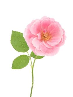 다마스크 장미 꽃 흰색 배경에 고립입니다.