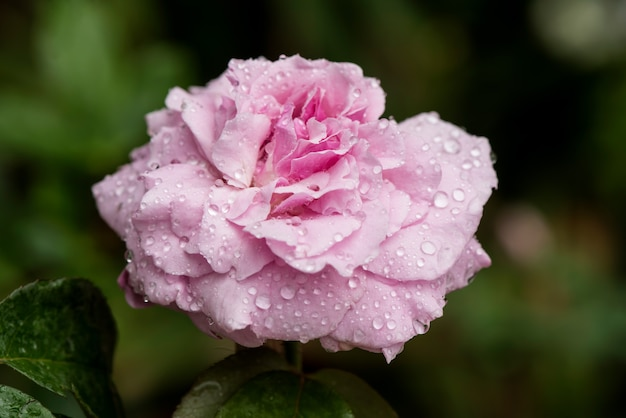 Damask rose flower on nature background.