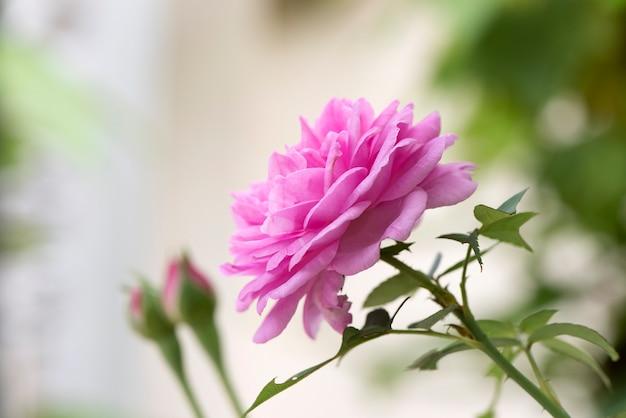 Damask rose flowers on nature background.