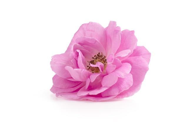 白で隔離されるダマスクローズまたはピンクのダマスクローズの花。