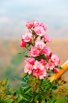 흰색 배경에 장미 차에 대 한 다 마스크 장미 꽃잎. (로사 다마 세나 밀)
