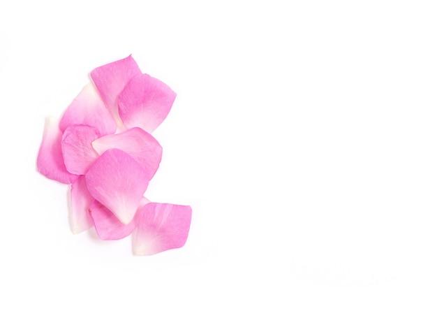 다 마스크 장미, 분홍색 꽃잎에 격리 된 흰색 배치