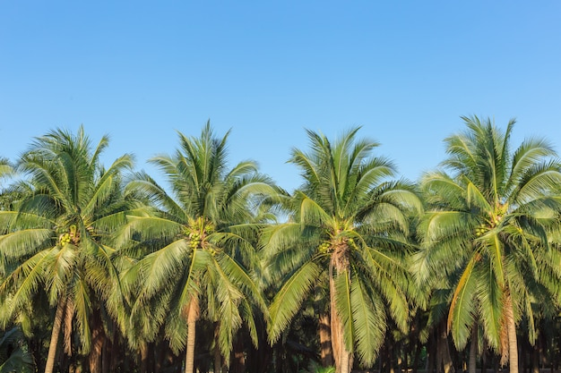 Damnoen saduakのココナッツの木、最高のタイのココナッツジュース