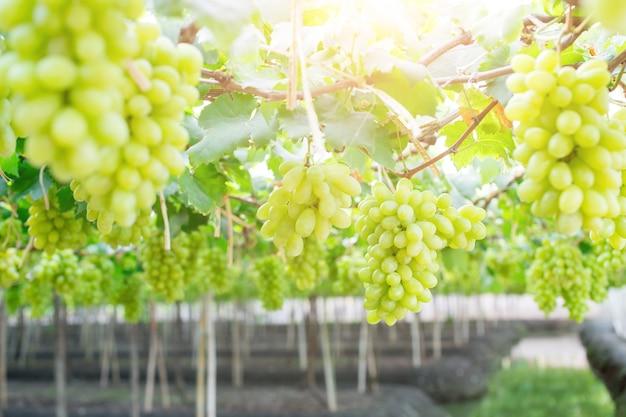 緑色のブドウ、ブッシュにぶら下がって、damnoen saduk、ratchaburi province。タイ