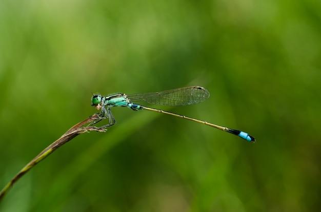 緑の自然の背景と茎のイトトンボトンボ