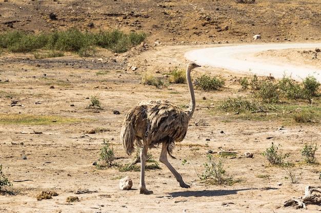 Танцующая самка страуса саванна амбосели африка