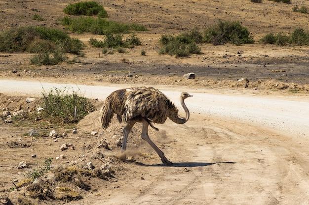 Танцующая самка страуса саванна амбосели кения