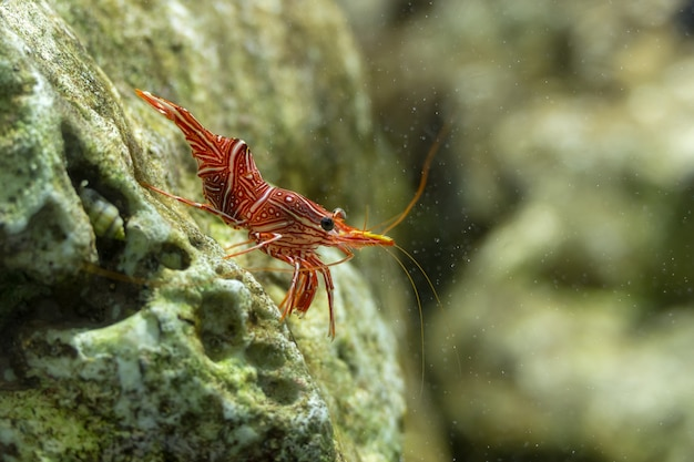 Dancing shrimp, hinge-beak shrimp, camel shrimp