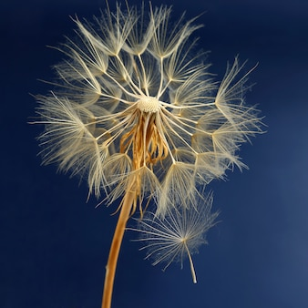 Одуванчик и его летающие семена на синем фоне. цветочная ботаника