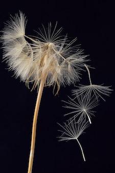 Одуванчик и его летающие семена на темном фоне. цветочная ботаника