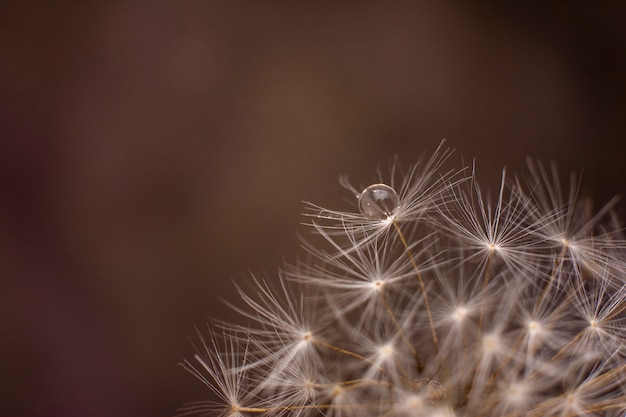 Dandelion. beautiful water drop on a dandelion flower seed macro in nature. colorful expressive artistic image form.