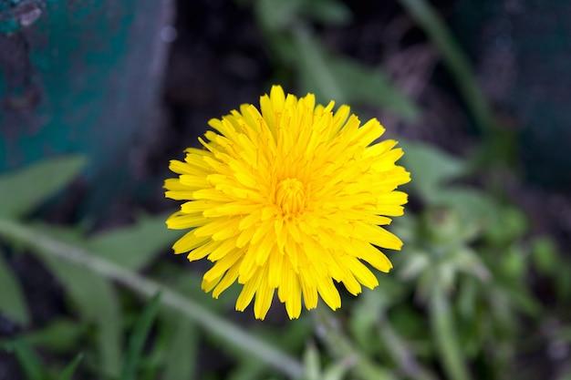 春先に咲くタンポポ