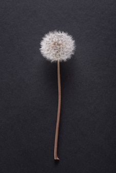 Dandelion, blowball flower close up on black bacground, copy space