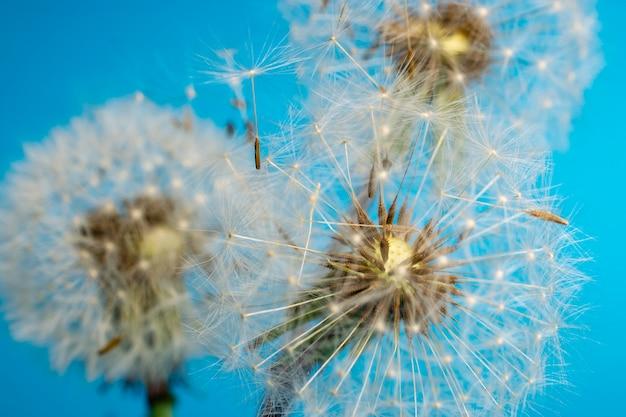 Dandelion on a blue background. fluffy flower, plant seeds