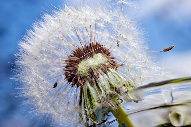Dandelion close-up, against the blue sky, with shallow depth of field